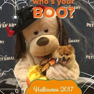 Pomeranian in a halloween dress