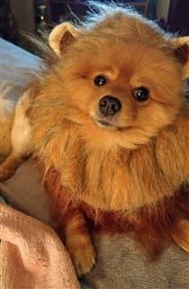 Pomeranian lion costume