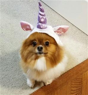 Pomeranian unicorn costume