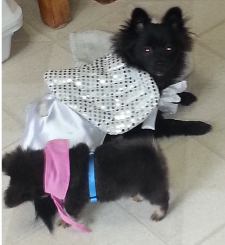 black pomeranians in halloween costumes