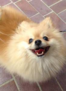 Pomeranain smiling after eating ice cream