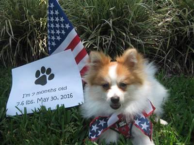 American Pomeranian