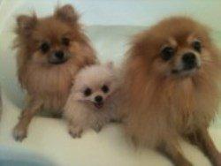 Pomeranians in bathtub