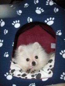 Pomeranian in playpen
