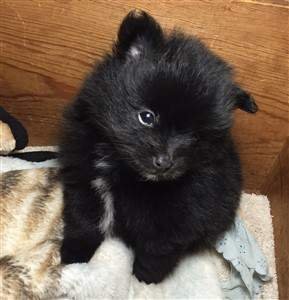 black pom with white markings