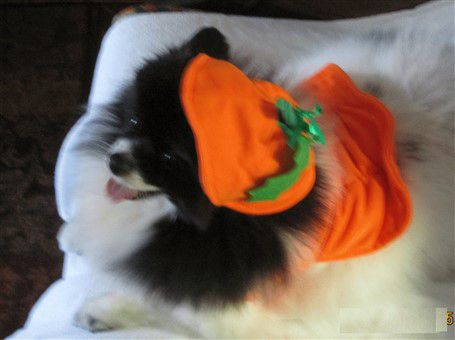 black-and-white-pomeranian-in-pumpkin-costume