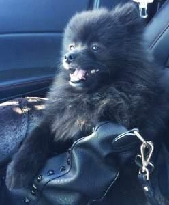 black 3 year old Pomeranian