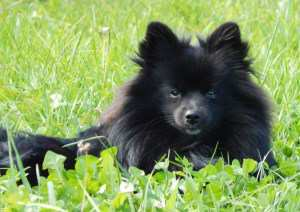 1 year old solid black Pomeranian