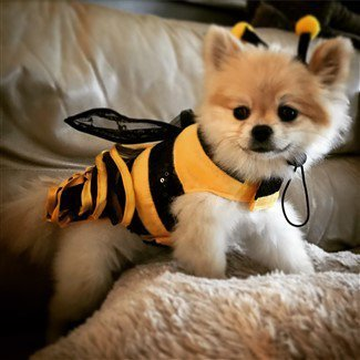 canine-bumble-bee-halloween-costume