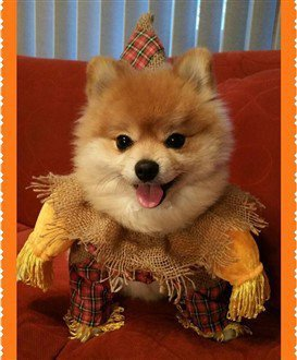 Pomeranian Costume Winner 2016- 3rd Runner Up