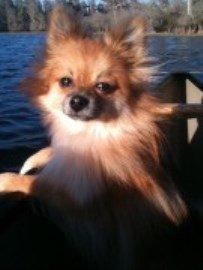 Pomeranian in canoe