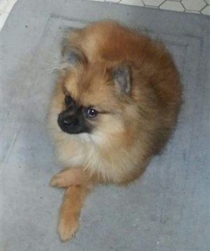 Pomeranian sire