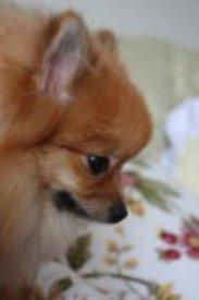 Pomeranian in China