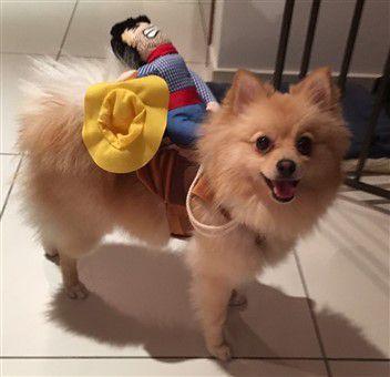 cowboy-costume-horse-rider-pomeranian.