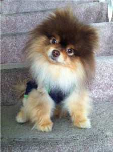 2 year old little Pomeranian