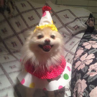 small-dog-clown-costume.