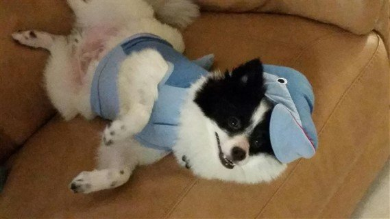 dolphin-costume-on-pomeranian-