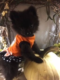 canine halloween pumpkin dress