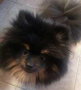 3 year old female Pomeranian