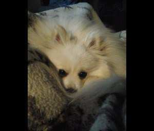 Pomeranian looks like white fox