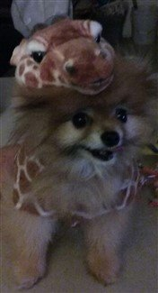 giraffe-costume-on-pomeranian.