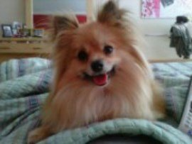 Pomeranian on bed