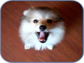 close up of Pomeranian
