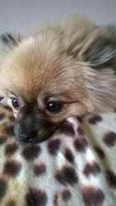 1.5 year old Pomeranian female