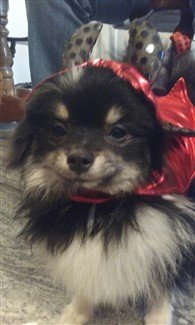 little-devil-pomeranian-costume