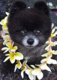 Pomeranian working as hospice volunteer
