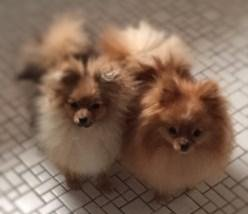 male and female Poms