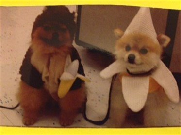 Monkey and banana Pomeranian costume