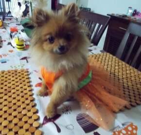 most elegant costume Pomeranian