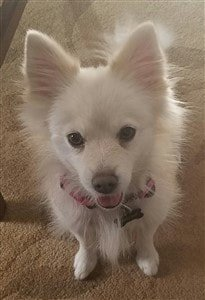 partial-throwback-pomeranian-white