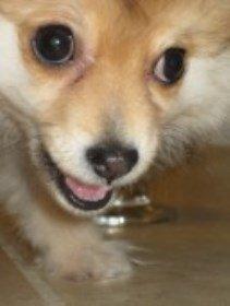 funny close up of Pomeranian - big eyes