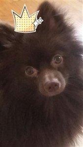 Pomeranian with crown