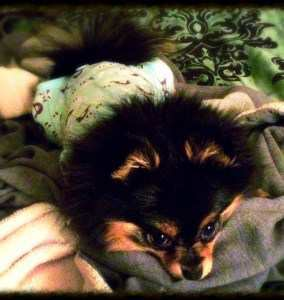 10 month Pom puppy