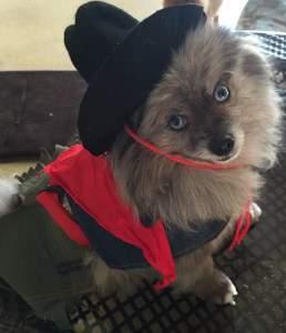 Cowboy costume for Pomeranian
