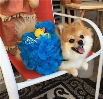 Pomeranian bath sponge costume