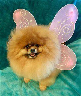 Pomeranian butterfly outfit
