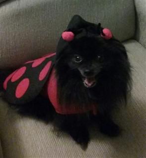 pom-ladybug-costume-002