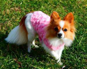 Pomeranian with pink sweater