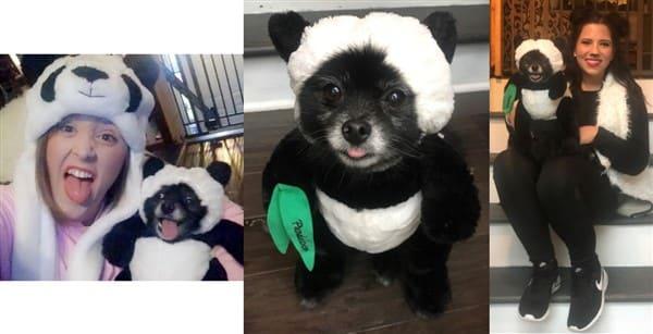 Panda Pomeranian