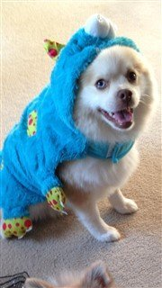 pomeranian-cookie-monster-costume