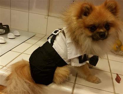 pomeranian-costume-tuxedo