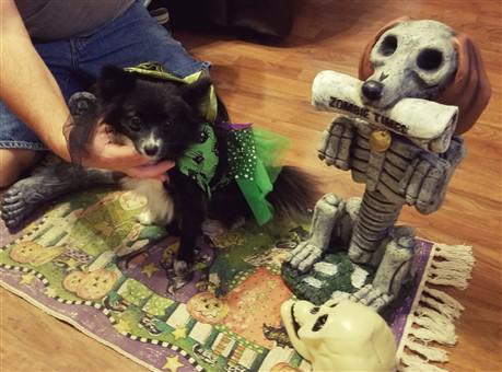 pomeranian-green-halloween-witch