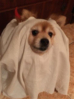 pomeranian-halloween-costume-friendly-ghost