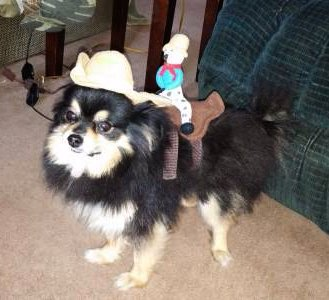 Pomeranian in horse costume