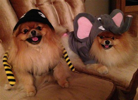 pomeranian-in-elephant-costume.j