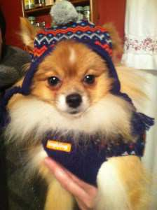 Pomeranian wearing a hat
